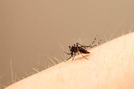 Left or right inseto mosquito aedes aegypti